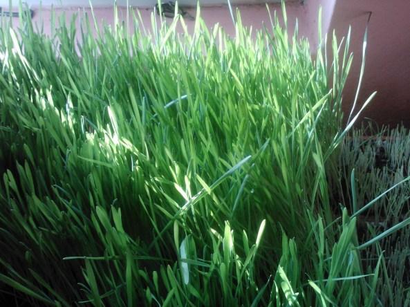 iarba de grau